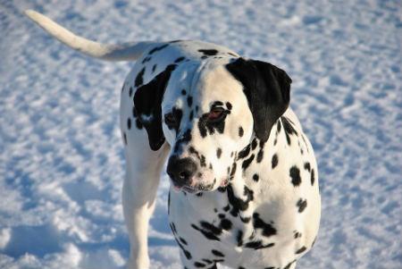 perro con manchas dalmata