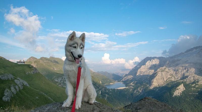 Precio de un cachorro de husky siberiano