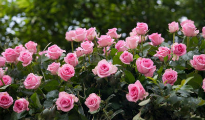 Origen de las rosas