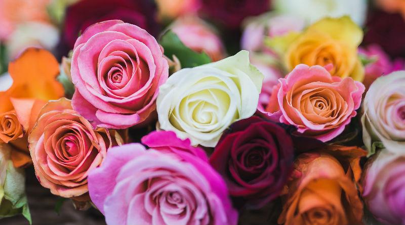 Rosas Características significados orígenes y cuidados