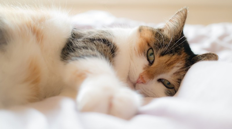 Proteger al gato de los parásitos
